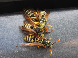 Fresh Wasps