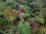 Tree Ferns in The Rain