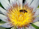 Bee on a Water Lily