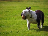 Lawn Bowling With Bull Dogs