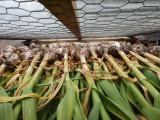 Undercover Garlic