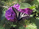 Pam's Swallowtail