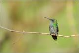 Colibri à menton bleu 40