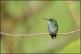 Colibri à menton bleu 41