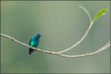 Colibri à menton bleu 01