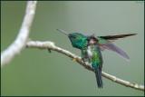 Colibri à menton bleu 03