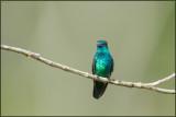 Colibri à menton bleu 05