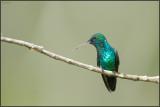 Colibri à menton bleu 06
