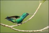 Colibri à menton bleu 07