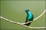 Colibri à menton bleu 08