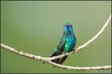 Colibri à menton bleu 09