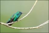 Colibri à menton bleu 10