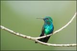 Colibri à menton bleu 12