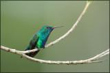 Colibri à menton bleu 13