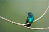 Colibri à menton bleu 14