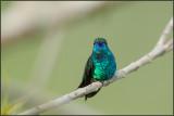 Colibri à menton bleu 15