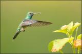 Colibri à menton bleu 34