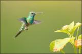 Colibri à menton bleu 35