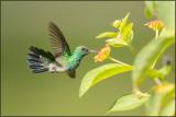 Colibri à menton bleu 37