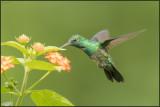 Colibri à menton bleu 38