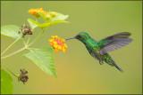 Colibri à menton bleu 39