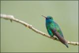 Colibri à menton bleu 23