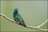 Colibri à menton bleu 24