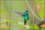 Colibri à menton bleu 32