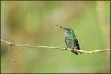 Colibri à menton bleu 44