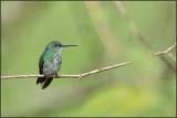 Colibri à menton bleu 43