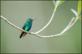 Colibri à menton bleu 31