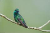 Colibri à menton bleu 28