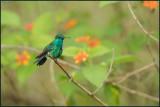 Colibri à menton bleu 27