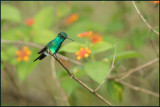 Colibri à menton bleu 26