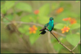 Colibri à menton bleu 25