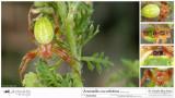 Araniella cucurbitina   FA.jpg