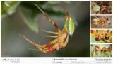 Araniella cucurbitina  MA.jpg
