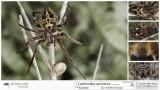 Larinioides sericatus  FA.jpg