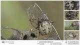 Larinioides folium  FA.jpg
