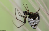 Arachnida  ID