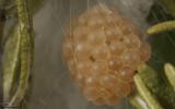 Latrodectus tredecimguttatus 1009FA-96557.jpg