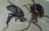 Steatoda nobilis 0000FA-91672.jpg