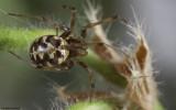 Steatoda triangulosa 0976FA-94441.jpg