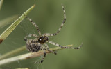 Theridion mystaceum 0802FA-95291.jpg
