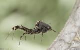 Uloboridae