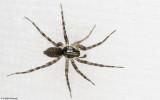 Malthonica 1157MA-91642.jpg