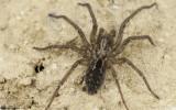 Eratigena feminea cf. 1081Ms-94579.jpg