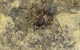 Lycosoides coarctata cf. 1091FA-95878.jpg