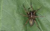 Lycosoides coarctata 0000FA-0065844.jpg