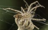 Anyphaena numida 1219FA-35.jpg
